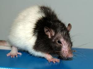One rat with GVH disease demonstrated for the students during the practical session